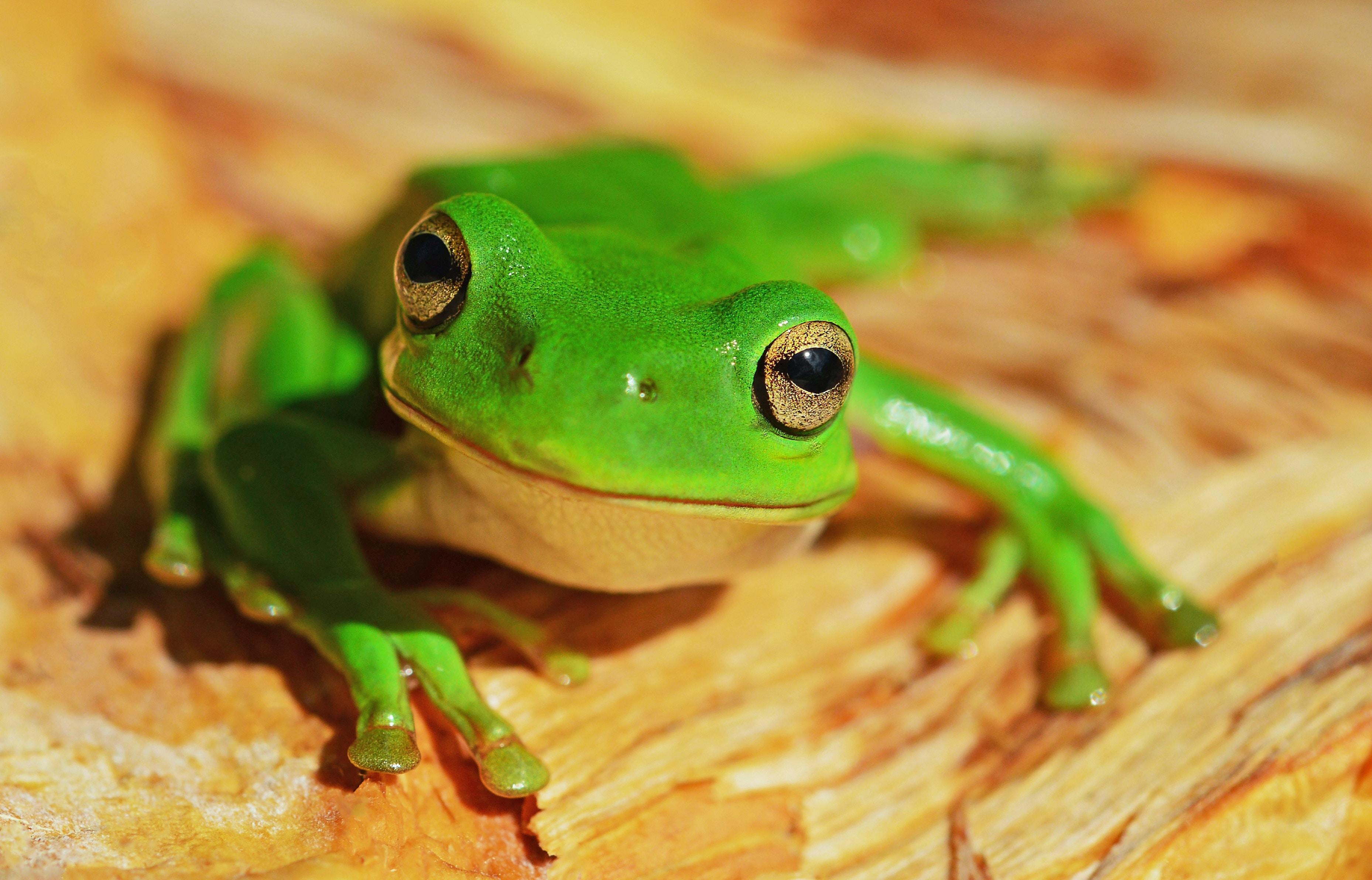 Anfibio rana verde