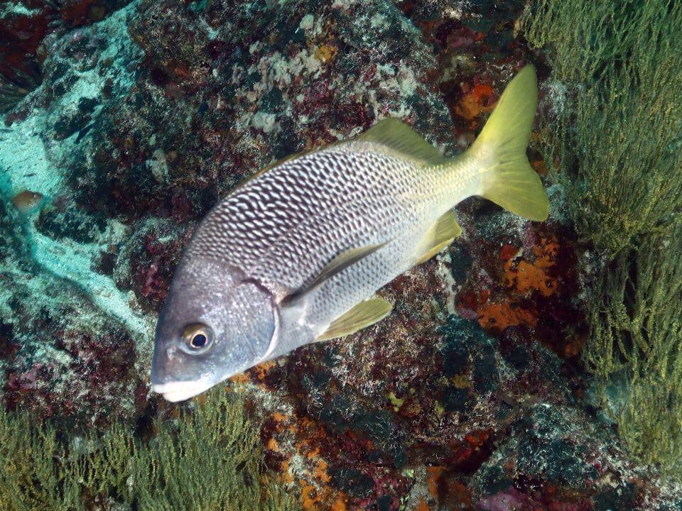 Anisotremus espinoza
