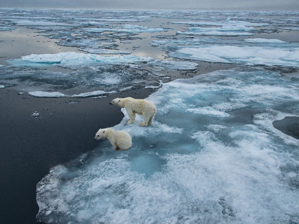 Oso Ártico