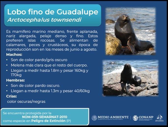 Infografía Lobo Fino de Guadalupe